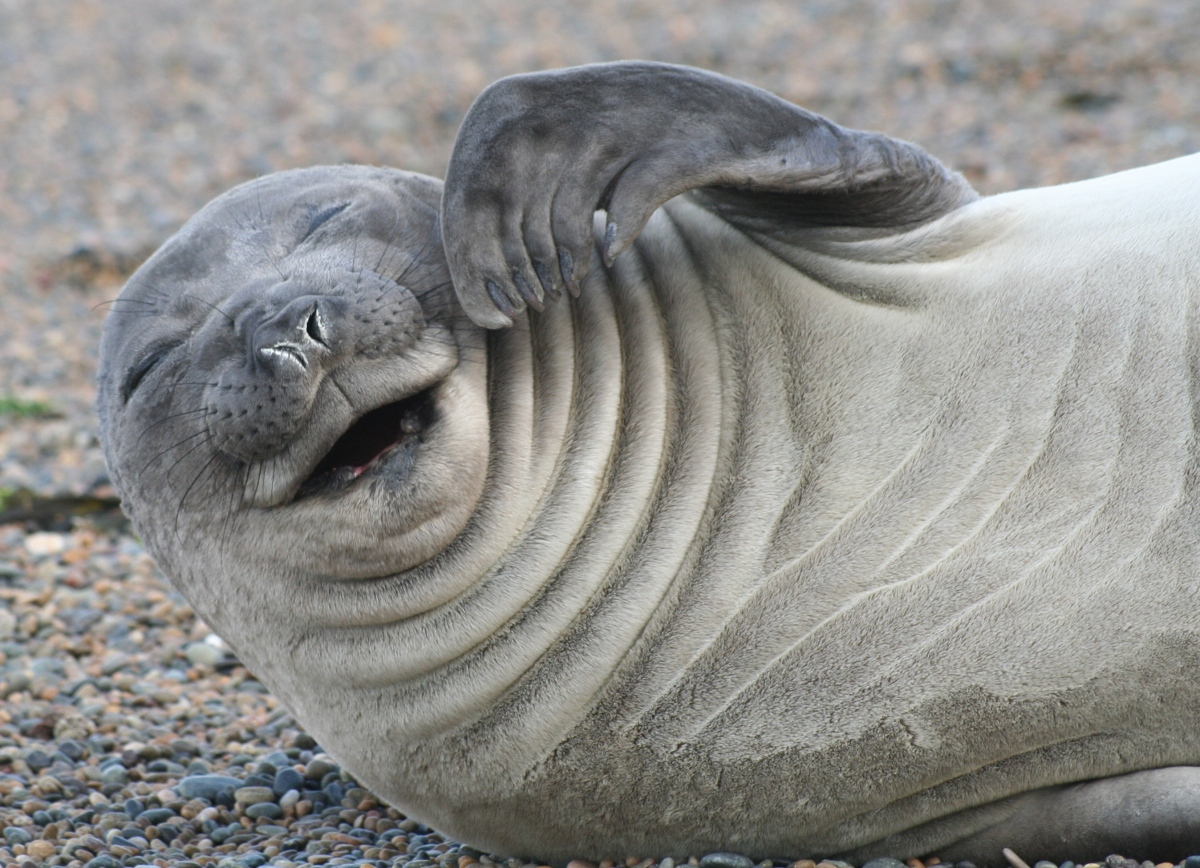 THE LAUGHING SEAL