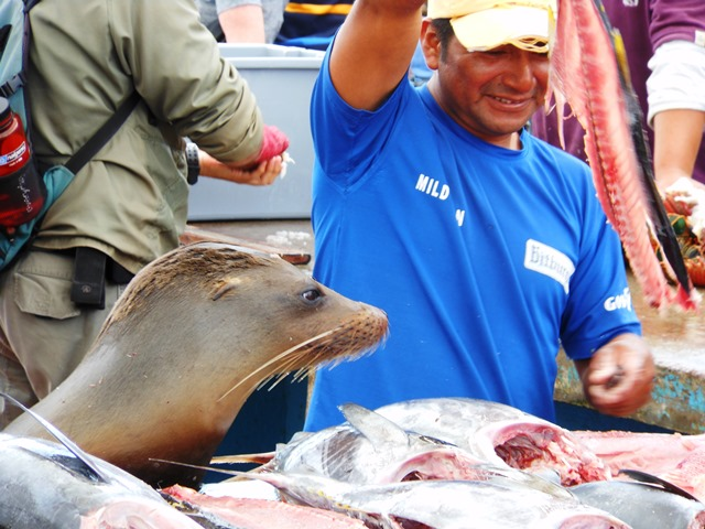 IN THE GALAPAGOS EVEN THE SEA LIONS GET TO MAN THEIR OWN FISH STALL