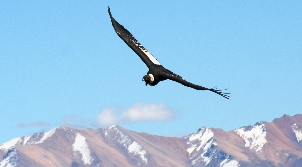 CONDOR EAGLE, COLCA CANYON, PERU