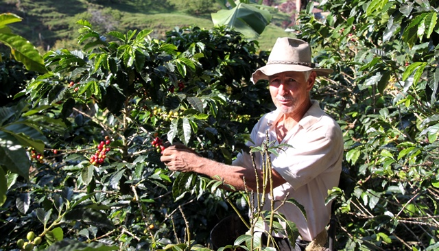 THE OWNER OF FINCA NOHELIA HARVESTING HIS COFFEE CROP. (COLOMBIA)