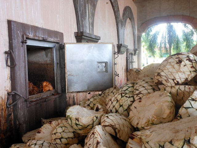 THE PINA READY TO GO INTO THE KILN. THE PINA OF AN AGAVE PLANT CAN WEIGH AS MUCH AS 120 KILOS.
