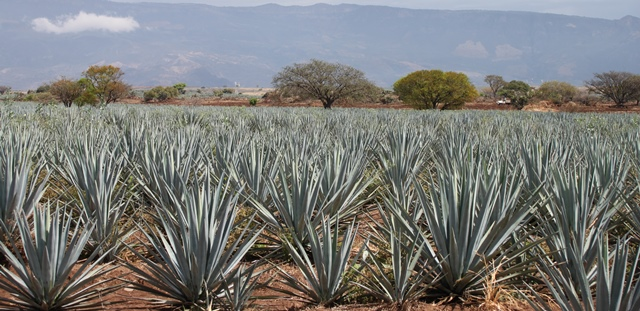 FIELDS OF BLUE AGAVE. THE AGAVE IS A SOURCE OF HEALING AND NOURISHMENT. FOLK HEALERS USE ALL PARTS OF THE PLANT IN THEIR ELIXIRS AND SALVES. THE AGAVE TAKES 7-10 YEARS TO REACH MATURITY AND HERRADURA HAS 25 MILLION PLANTS AT EVERY STAGE OF MATURITY TO GUARANTEE PRODUCTION FOR YEARS TO COME.
